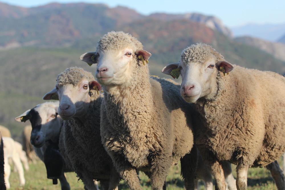 Moutons des Baronnies